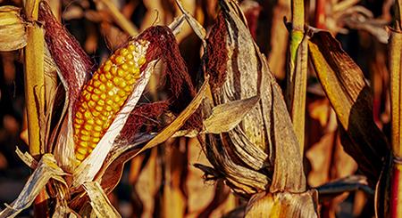 Corn stalks standing in a field.