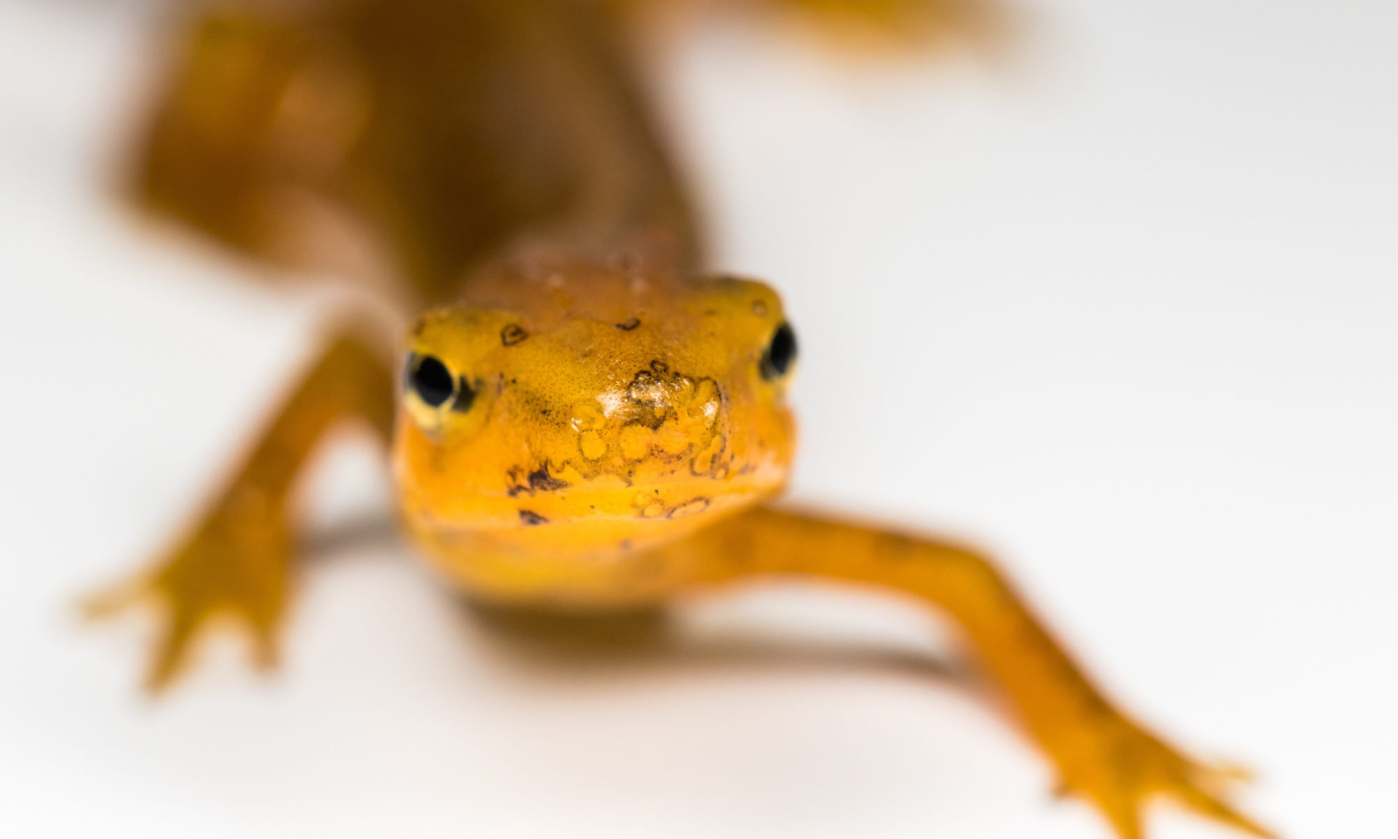 An eastern newt shows signs of Bsal pathogen on its nose.