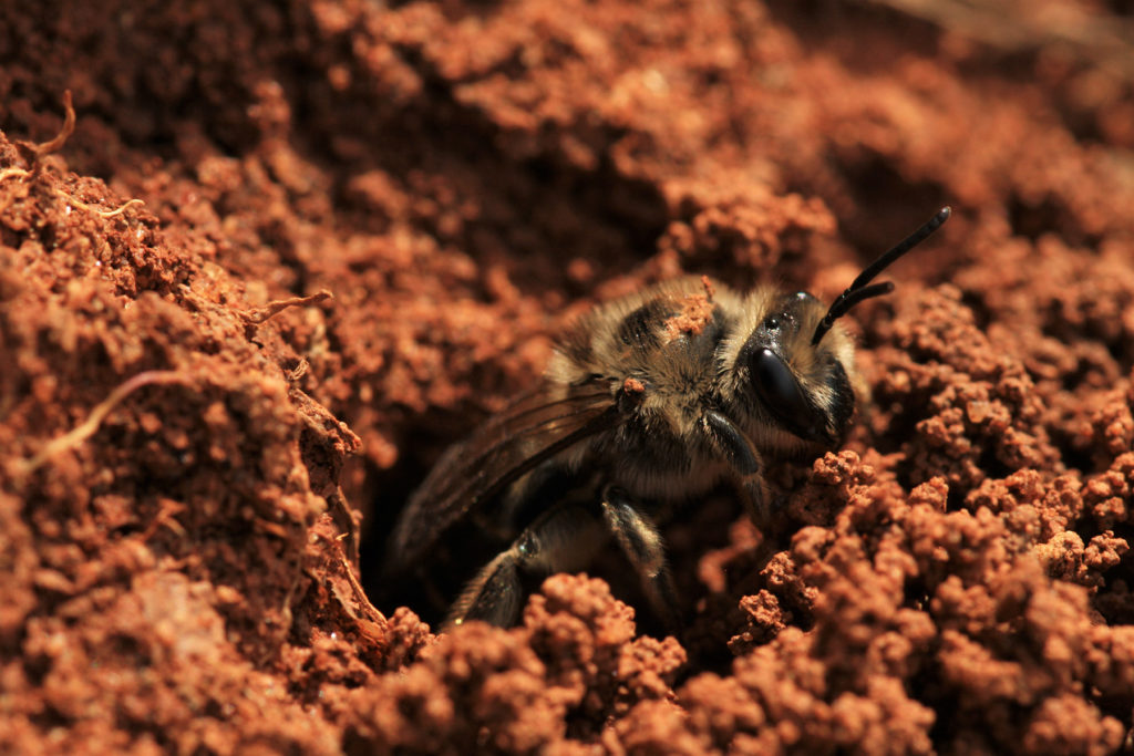 Close-up of a bee in a ground nest.