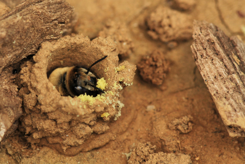 A bee with pollen in its nest.