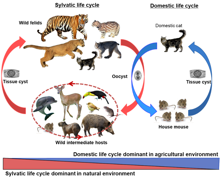 Life cycle of T. gondii. Parasite oocysts are shed in feces by definitive feline hosts in the environment. The oocysts mature in the environment and may then be ingested by intermediate hosts such as mammals and birds. The parasites develop and form tissue cysts in intermediate hosts. The parasites are transmitted back to definitive hosts by predation. Transmission may also occur through scavenging among the intermediate hosts. The sylvatic cycle involves wild feline host species and varied mammalian and avian intermediate host species, whereas the domestic cycle involves the domestic cats and small rodents such as house mice and rats. Through the expansion of agriculture in human history, the domestic cycle played increasingly important role in transmission of T. gondii. (Shwab et al., PNAS, 2018, 115:E6957).