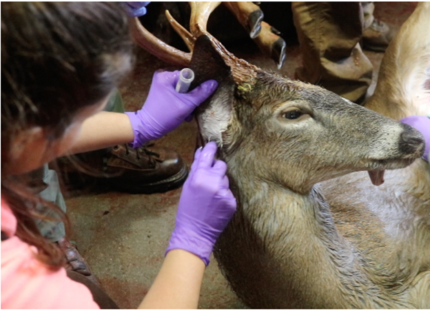 Removing adult black legged ticks from a white-tailed deer at a wildlife check station.
